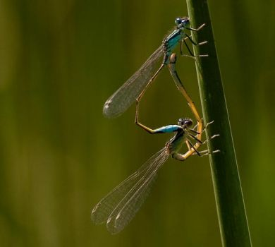 Dragonflies by Krawat93