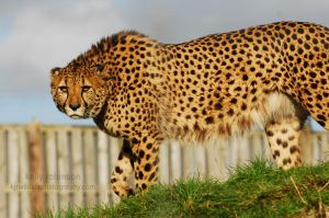 Cheetah on the Prowl by Shadow-and-Flame-86