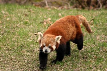 red panda 2. by yellohbrd