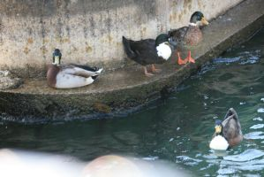 ducks in Limone by ingeline-art