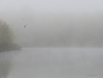 Tree swallows hunting in fog by Mogrianne