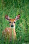 White-tailed Deer Fawn In Grass by kkart