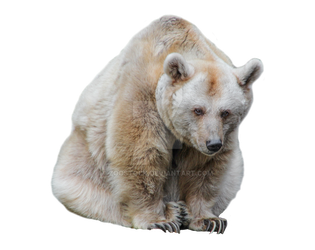 Bear on a transparent background. by ZOOSTOCK