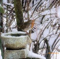 A Robin in the water Feature in my garden by blackrose1959