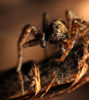 Pardosa sp. by Miracidium