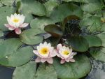 Water lilies by ChrisAnezo