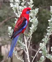 Crimson Rosella by BreeSpawn