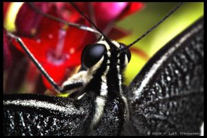 Citrus Swallowtail Butterfly 3 by Vamppy