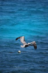 brown pelican 6.3 by meihua-stock