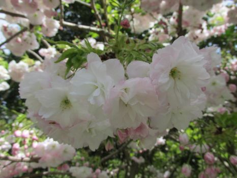 More cherry blossoms by NormaLeeInsane