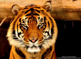 Sumatran Tiger by 8TwilightAngel8