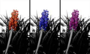 Flower with 3 color variations by NAUX
