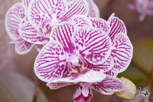 Orchids by Sakura060277