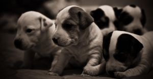 Chiots Jack Russel by tifrize