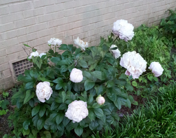 White Peonies by RavenRechior