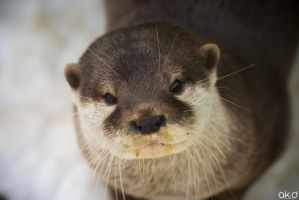 Otter by Mob1