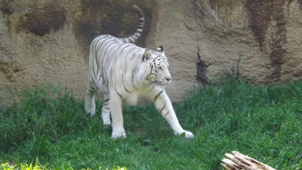 White Tiger by CRUMB662