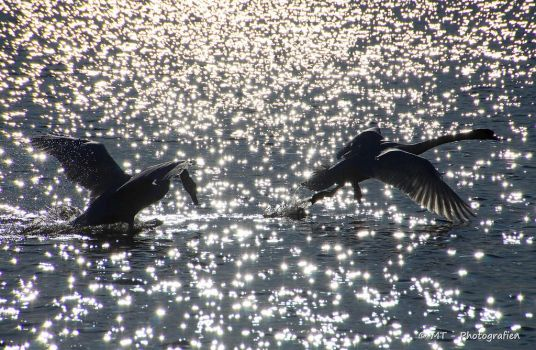 Swanpower in the sunshine by MT-Photografien