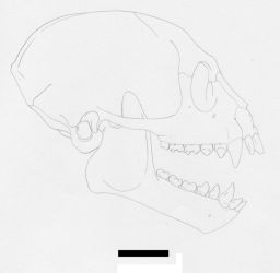 Catopithecus skull reconstruction by Afrovenator