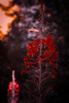 Red by Sonnich