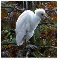 Pale Egret by In-the-picture