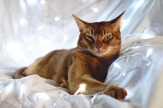 Festive Abyssinian by FurLined