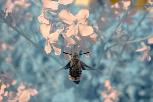 Bee Fly by Bunny-with-Camera