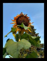 :: summer's last sunflower :: by synergia