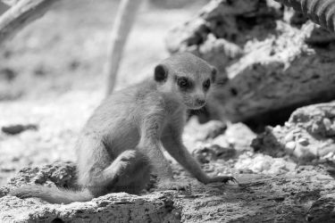 Puppy Meerkat by SilkenWinds