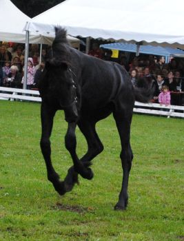Friesian Foal Stock 05 by ponystock
