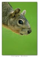Squirrel Portrait by sergey1984