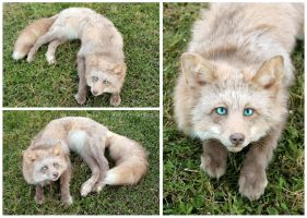 Pink Cross Fox Soft Mount by WeirdCityTaxidermy