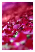In a Bed of Roses by gilad