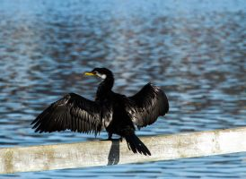 Little Shag by ARC-Photographic