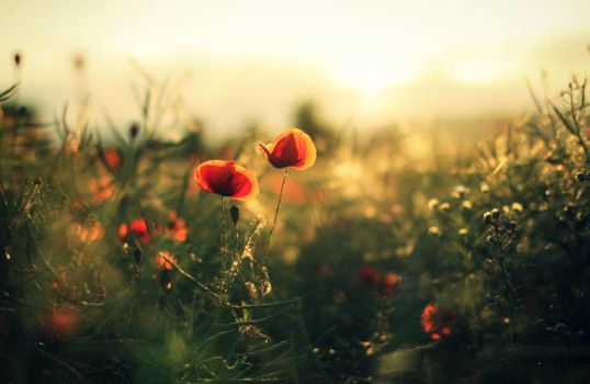 Mohn by Squirrelondope