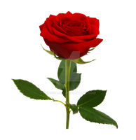 Red rose on a transparent background. by PRUSSIAART