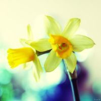Narcissus.. by gomit