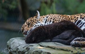 Jaguar - Panthera Onca by Yuukon