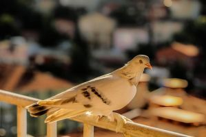 Golden Pigeon by Canankk