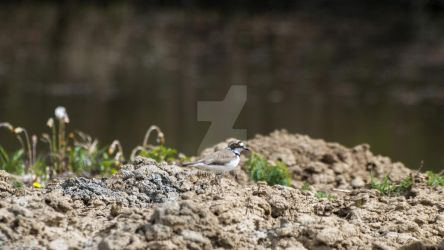 Common ringed plover by 75ronin