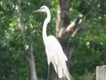 Egret Stock 3 by Marzipan-Stock