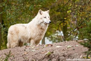 Arctic Wolf III by amrodel