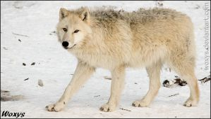 What does the wolf do in winter? Looks awesome. by woxys