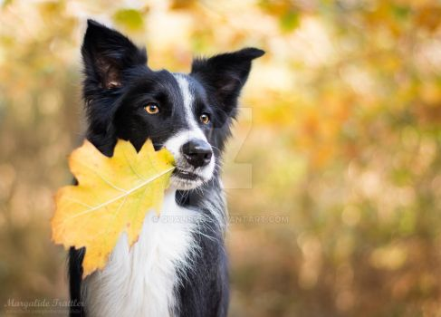 Border collie in Autumn by Qualisco