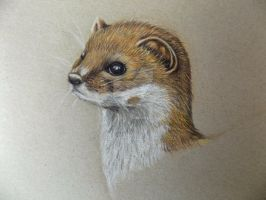 Weasel Pencil Art by Usitatus