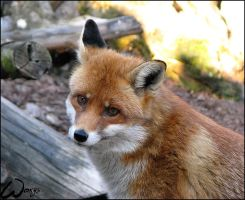 Bystrouska the red fox by woxys
