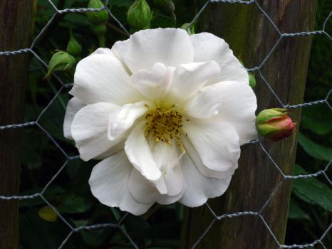 Random flower III escaping the wire fence by Rubombee