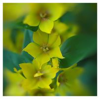 yellow flowers by mzkate