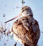 Godwit 004 by Elluka-brendmer