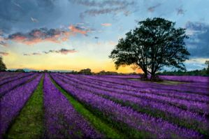 Lavender field tree by ConfirmedBurger